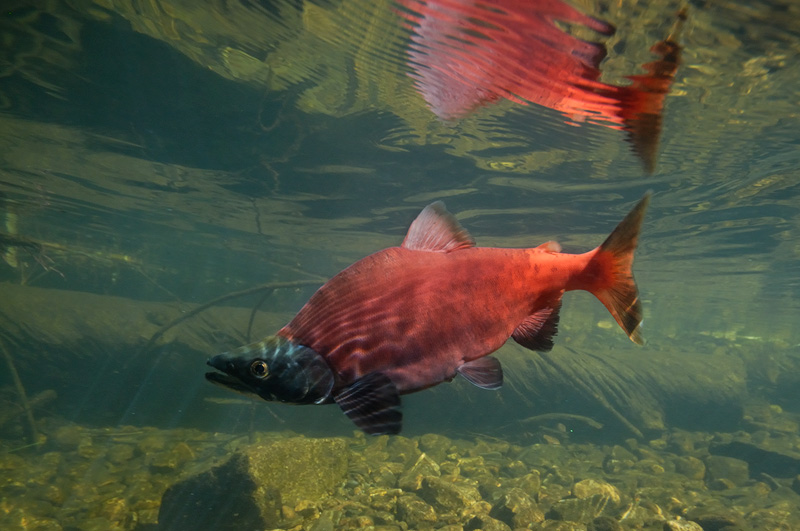 Bright red male Kokanee salmon photograhed underwater