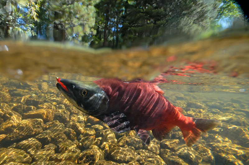 underwater photo of a Kokanee Salmon caught fly fishing