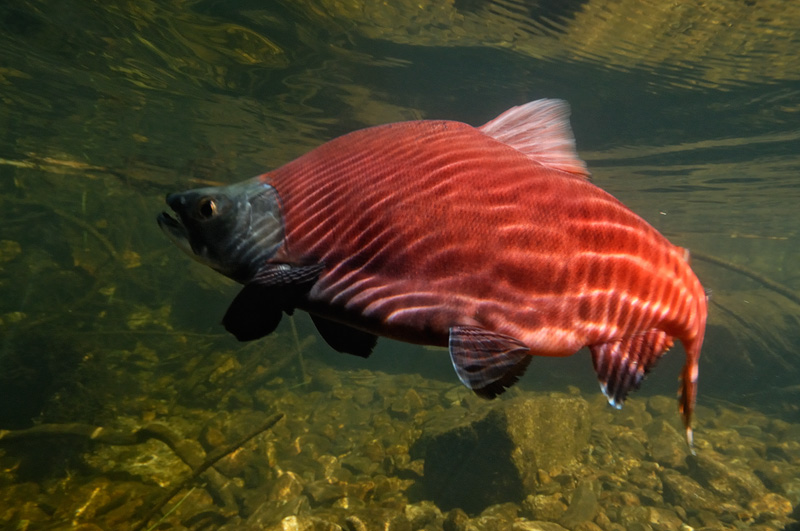 Large Kokanee underwater glowing in fall sunlight