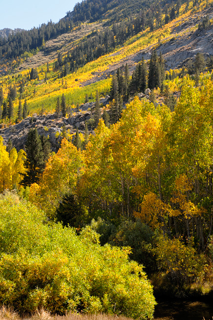 Streamside aspen trees glowing with brilliant fall colors