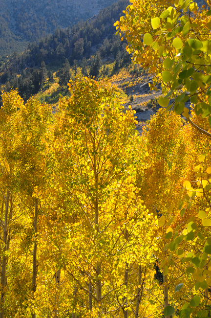 Sierra streamside aspen trees glowing with golden leaves