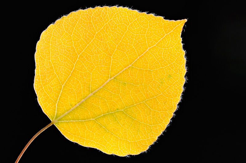 backlit beautiful yellow aspen leaf