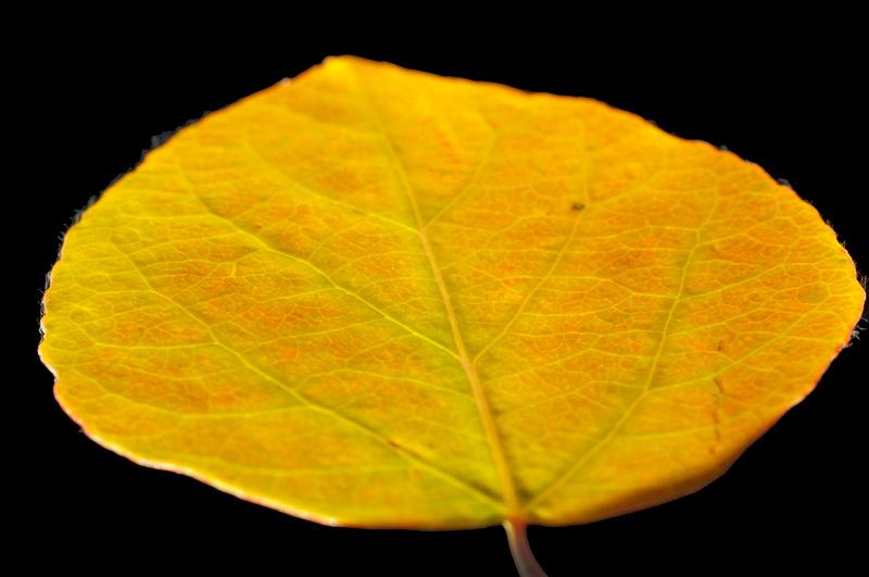 glowing orange aspen leaf