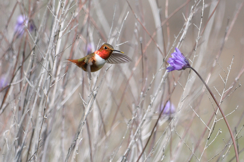 Allen's Hummingbird approaches another flower