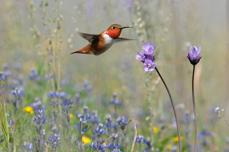 California sure is Beautiful,   wildflowers and hummingbirds are a nice combination