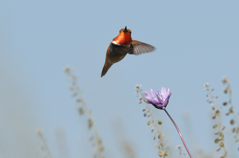 Allen's Hummingbird with a flaming orange gorget glowing in spring sunlight