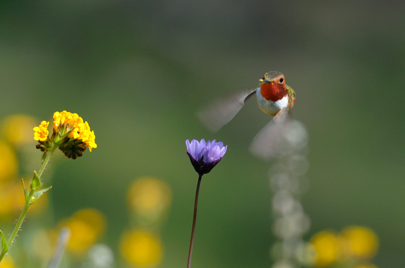 Pretty hummingbird approaches another wildflower