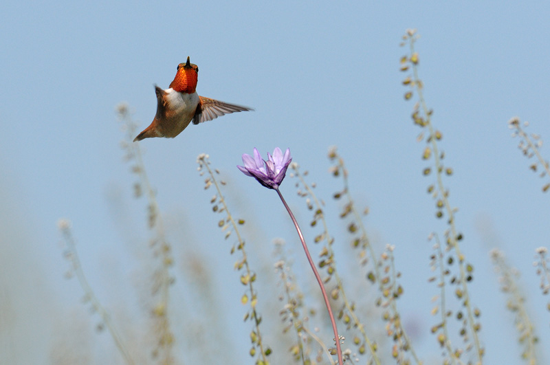 Beautiful male Allen's Hummingbird flying over a Blue Dick wildflower in a quest for nectar