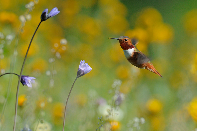 Hummingbirds beat their wings so fast they are a delightful blur of motion