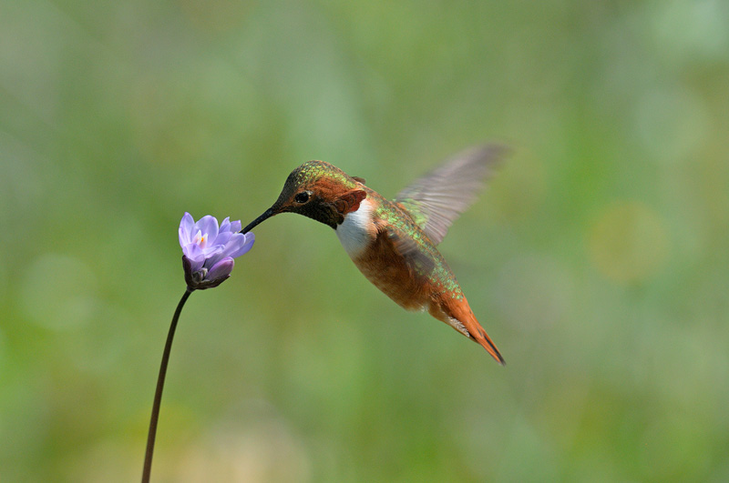 Hummingbird hovering effortlessly