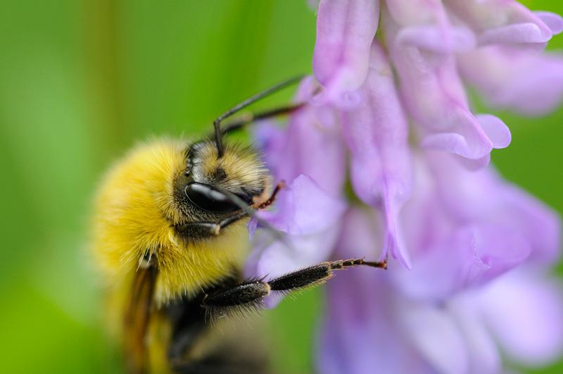 Bumble Bee & Lupine macro