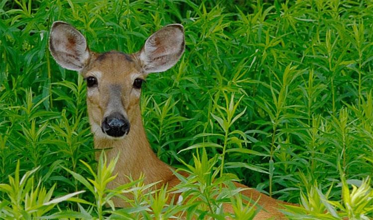 Picture of a deer lick bird