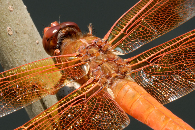 close up macro photography of an orange dragonflies wings