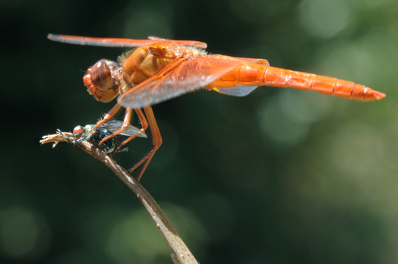 macro photography of an orange dragonfly